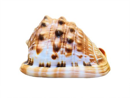 gastropod: Shell of Cypraecassis Rufa or Bull Mouth Helmet is a species of sea snail, marine gastropod mollusk in the family Cassidae isolated on white background with clipping paths Stock Photo