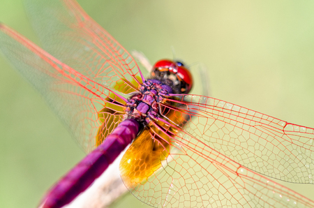 trithemis: Trithemis Aurora or Crimson Marsh Glider ( male) Close up dragonfly red purple perched at the end of the branches Stock Photo