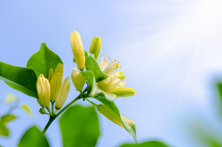 jessamine: Water drops on white flowers and pollen of Murraya paniculata or Orange Jessamine under bright sunlight on blue sky background