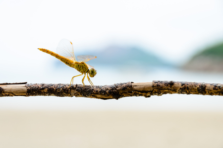 libellulidae: Pantala Flavescens, Globe Skimmer or Wandering Glider, Yellow dragonfly perched on a branch at the beach