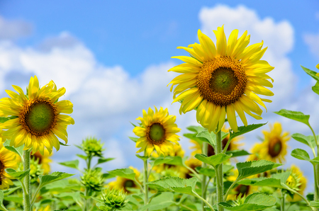 helianthus annuus: Many yellow flower of the Sunflower or Helianthus Annuus blooming in the field on blue sky and cloud background
