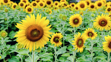 flower        petal: Many yellow flower of the Sunflower or Helianthus Annuus blooming in the field, 16:9 wide screen Stock Photo