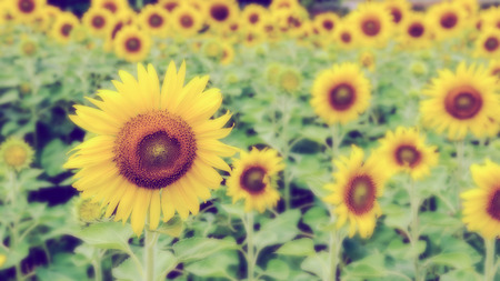 helianthus annuus: Vintage style many yellow flower blur and soft background of the Sunflower or Helianthus Annuus blooming in the field, Thailand, 16:9 wide screen
