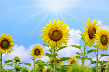 helianthus annuus: Many yellow flower of the Sunflower or Helianthus Annuus blooming under sunlight and the sun shines in the field on blue sky background