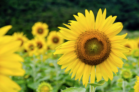 helianthus annuus: Many yellow flower of the Sunflower or Helianthus Annuus blooming in the field