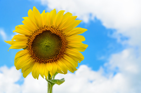 helianthus annuus: Yellow flower of the Sunflower or Helianthus Annuus blooming in the field on blue sky background