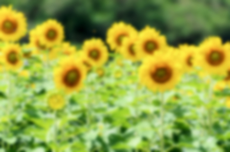 helianthus annuus: Blur background group yellow flower of the Sunflower or Helianthus Annuus blooming in the farm, Thailand