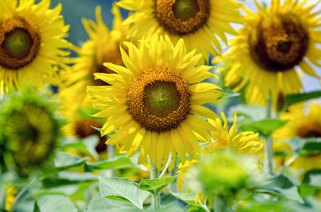 helianthus annuus: Many yellow flower of the Sunflower or Helianthus Annuus blooming in the farm, Thailand