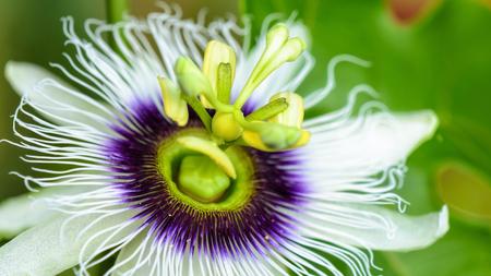wide screen: Exotic beautiful white and purple carpel flower of Passiflora Foetida or Wild Maracuja, 16:9 wide screen