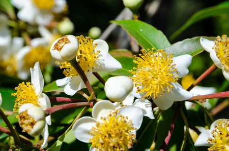 carpel: Group beautiful white flowers with yellow carpel on the tree of Calophyllum inophyllum or Alexandrian Laurel Stock Photo
