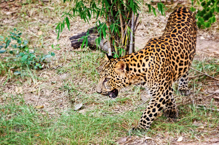 pardus: Leopard, Panther or Panthera pardus walking in the wild on the ground look for prey to feed