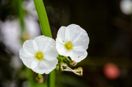 echinodorus: Ant on small white flower of Creeping Burhead or Echinodorus Cordifolius is a aquatic plant