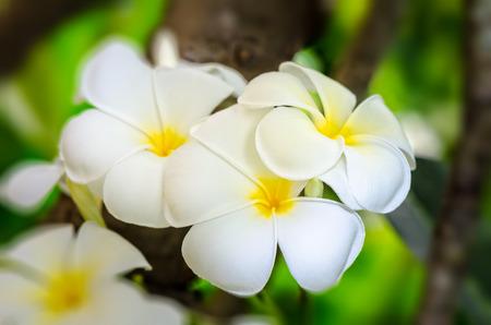 Beautiful group white flower of Plumeria or Frangipani on tree