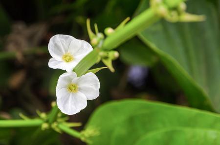 echinodorus: Beautiful small white flower of Creeping Burhead or Echinodorus Cordifolius is a aquatic plant