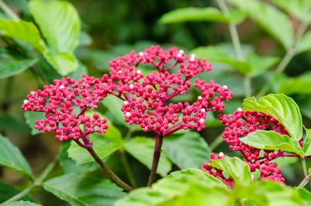 Beautiful small red flowers on shrub of Leea Rubra or Red Leea plant