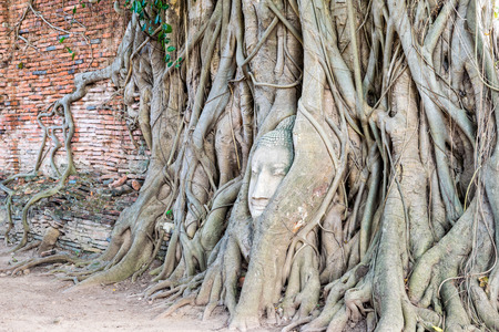 Head parts ruins of ancient buddha statue were covered up the roots of a banyan tree on the old wall at Wat Phra Mahathat temple in Phra Nakhon Si Ayutthaya Historical Park, Thailand