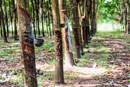 Reihe des klopften Gummibaums oder Hevea Brasiliensis mit Tropfen des natürlichen weißen Latextropfens vom Baum an der Plantage in Thailand