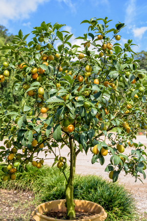 rutaceae: Orange fruits on the tree of Oval Kumquat or Fortunella Margarita with green leaves in the pot