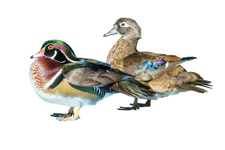 Male Wood Duck and female or Carolina Duck (Aix sponsa), Wild duck was introduced as a pet is a colorful standing happily isolated on white background