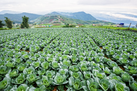 Plantation of Cabbage or Brassica oleracea beautiful nature rows of green vegetables in the cultivated area, agriculture in rural on the high mountain at Phu Thap Boek, Phetchabun Province, Thailand Stock fotó