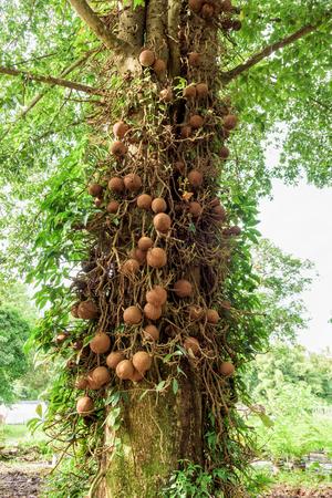 Shala tree or Sal tree (Shorea robusta) and its fruits