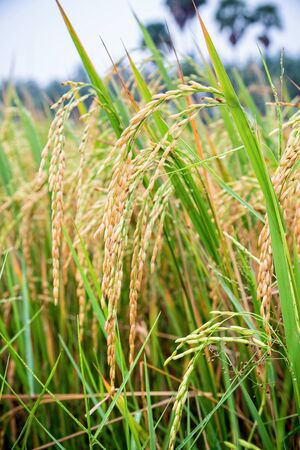 Close up beautiful nature green rice plant with yellow stalk ripe ear of rice in paddy field, Time to harvest on cereal farm and agriculture in Thailand Banque d'images