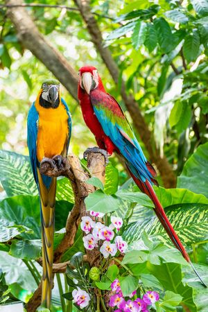 Blue and Gold Macaw or Ara Ararauna and Green Winged Macaw or Ara Chloroptera cute pets colorful birds, Beautiful nature wildlife of a Parrot pair is red and yellow on the green background