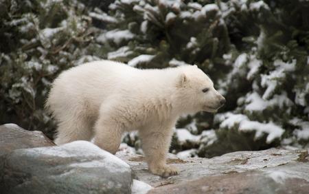 cachorro: Oso polar Cub que aventura