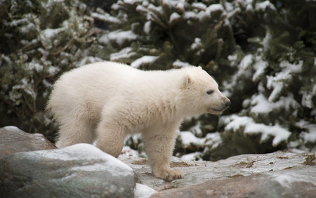 ourson: Polar Bear Cub Venturing