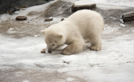 polar bear on ice: Polar Bear Cub Playing With Ice