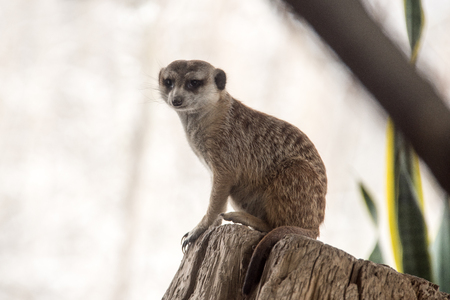 Meerkat on a Stump