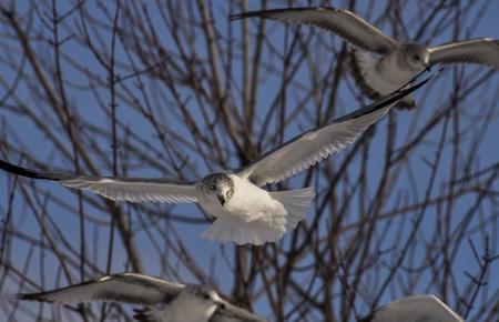 the seagulls: Seagulls Flying