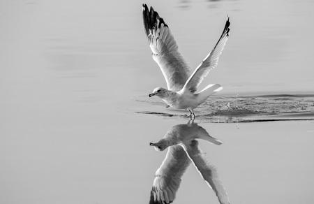 Seagull Landing in Water