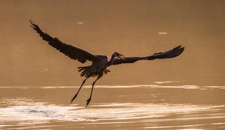 Heron Skimming Over Water