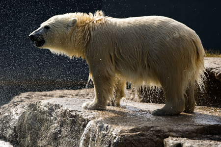 wet bear: Wet Polar Bear Standing on Rock Stock Photo