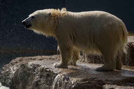 wet bear: Wet Polar Bear on Rock Stock Photo
