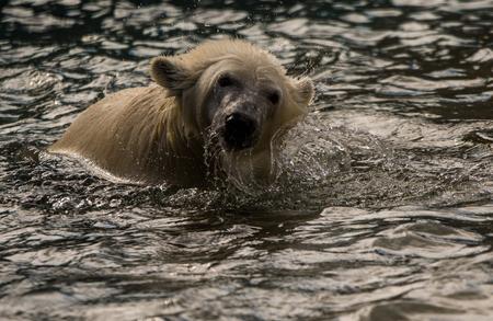 wet bear: Polar Bear Going Through Water