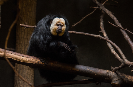 White-Faced Saki Sitting on a Branch