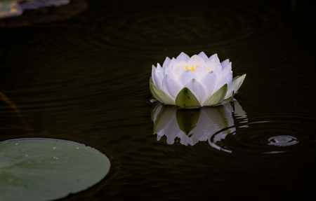 Water Lily in Rippling Water Stock Photo