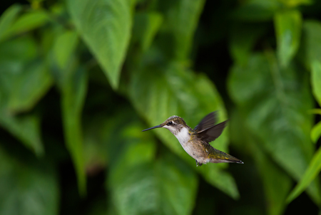 Hummingbird Flying by Leaves