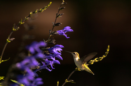 Hummingbird Flying Next to Purple Flowers