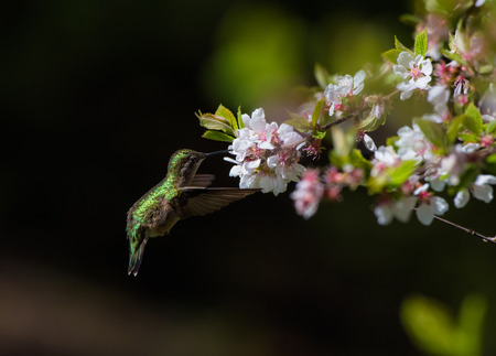 Hummingbird Next to White Flowers