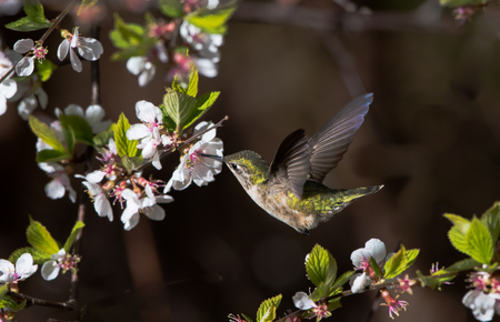 Hummingbird Flying Next to White Flowers
