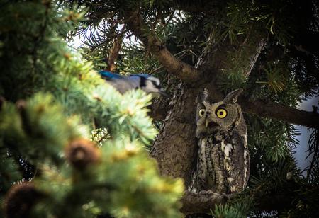 Owl Meeting a Blue Jay