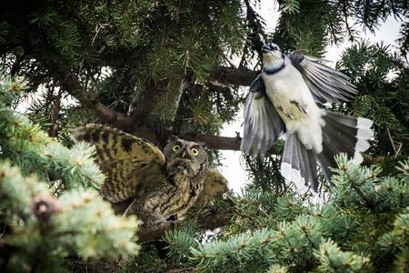 Owl and Blue Jay Meet