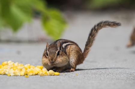 Chipmunk Stuffing Its Cheeks With Corn Фото со стока