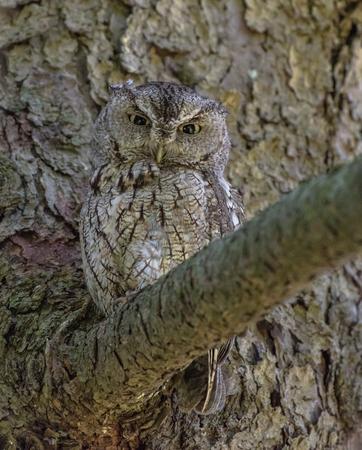 Owl Looking Forward