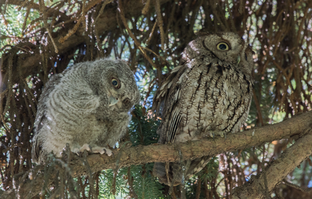 Pair of Owls Atop a Branch