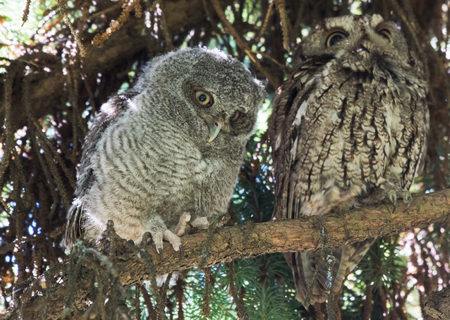 Pair of Owls Perched on a Branch 版權商用圖片