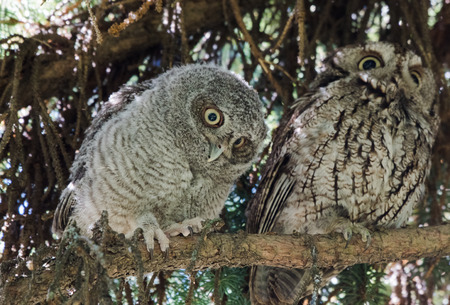 Owls Perched on a Branch